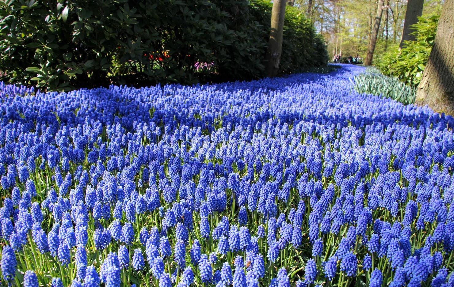 Amsterdam-Tulips-11