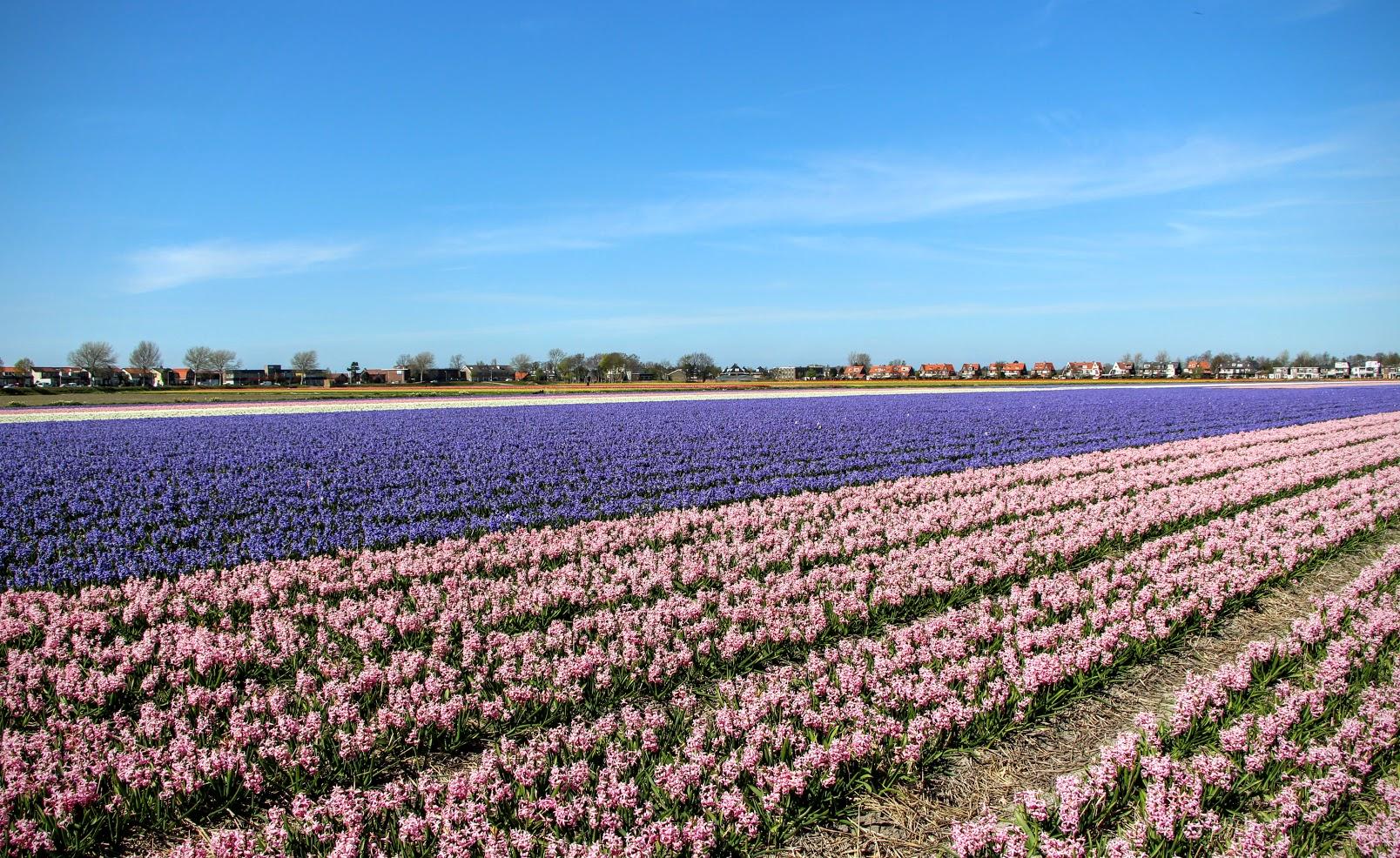 Amsterdam-Tulips-6