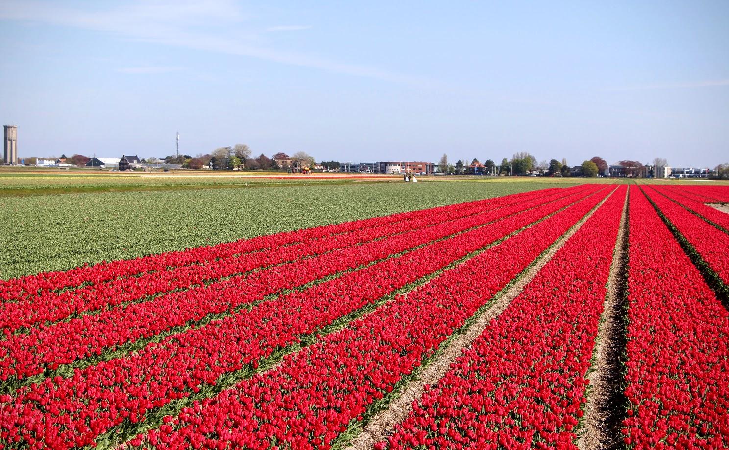 Amsterdam-Tulips-7